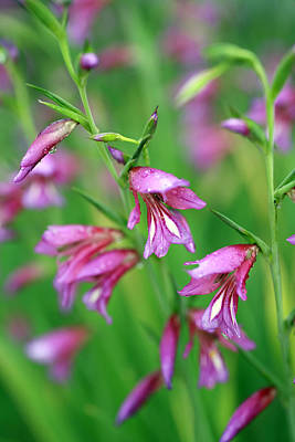 Pink Flowers Of Gladiolus Communis Art Print by Frank Tschakert