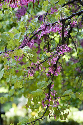 Cercis Photograph - Pink Flowers Of The Love Tree by Frank Tschakert