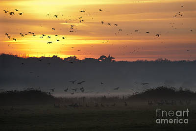 Migration Photograph - Pink Footed Geese At Holkham Norfolk Uk by John Edwards
