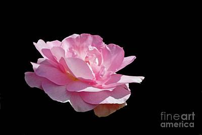 Photograph - Pink Fragrance On Black by Liz Alderdice