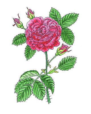 Painting - Pink French Rose Flower Watercolor  by Irina Sztukowski