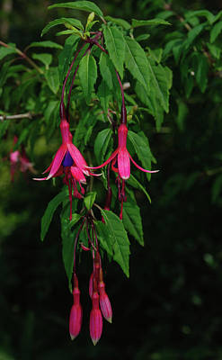 Photograph - Pink Fushia by Tikvah's Hope