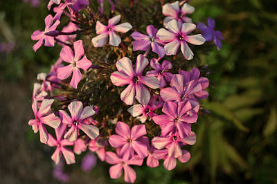 Photograph - Pink Garden Phlox - Flowers Photography by Ann Powell