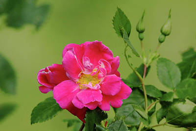 Pink Garden Rose Art Print by Debbie Oppermann