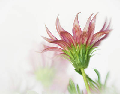Photograph - Pink Gazania Flames by David and Carol Kelly