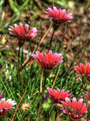 Photograph - Pink Gazanias by Richard Stephen