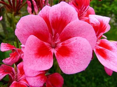Photograph - Pink Geranium Blossom by Valerie Ornstein
