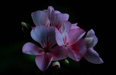 Photograph - Pink Geranium by Brad Chambers