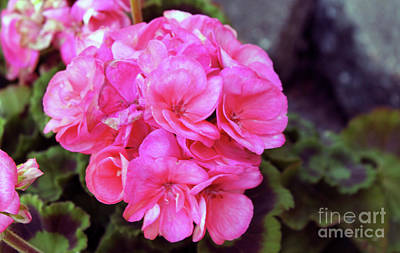 Photograph - Pink Geranium by Dan De Ment