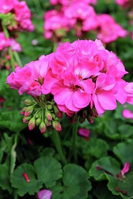 Photograph - Pink Geranium II by Michiale Schneider