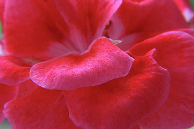 Designs In Nature Photograph - Pink Geranium Petals by Aidan Moran
