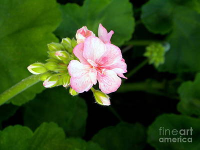 Photograph - Pink Geranium by Terri Mills