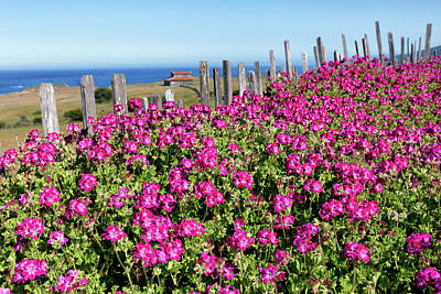 Photograph - Pink Geraniums At Stewarts Point  by Kathleen Bishop