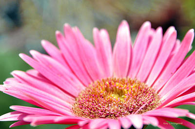 Photograph - Pink Gerber Daisy by Kay Lovingood