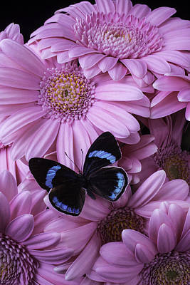 Gerbera Daisy Photograph - Pink Gerbera Daises And Butterfly by Garry Gay