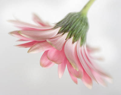 Photograph - Pink Gerbera Daisy by David and Carol Kelly