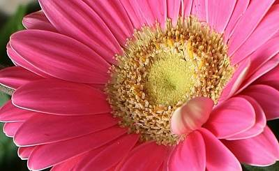 Photograph - Pink Gerbera Daisy Delight by Bruce Bley