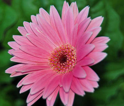 Photograph - Pink Gerbera Delight by Suzanne Gaff