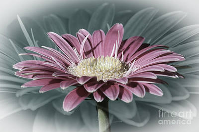 Photograph - Pink Gerbera Dream by Steve Purnell