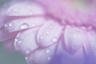 Photograph - Pink Gerbera Macro 1. Pink Temptation by Jenny Rainbow
