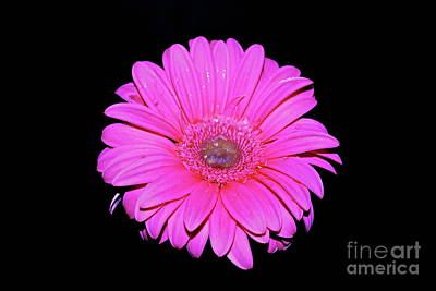 Photograph - Pink Gerbera On Black by Linda Bianic