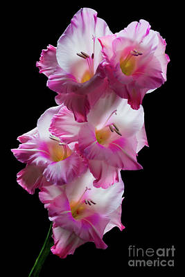 Photograph - Pink Gladiolas On Black  #0146 by David Perry Lawrence