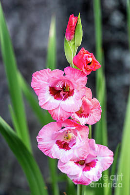 Photograph - Pink Gladiolus by Charles Hite