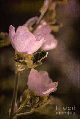 Photograph - Pink Globemallow Wildflowers by Tamara Becker
