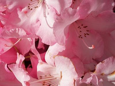 Photograph - Pink, Glorious Pink. by Nancy Pauling