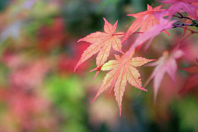 Photograph - Pink Glow Maple by Vicki Hone Smith
