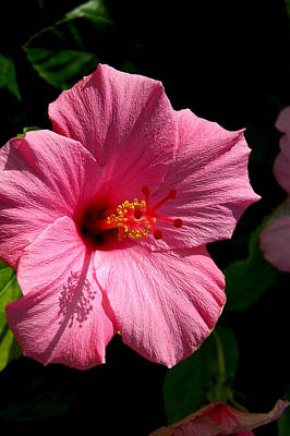 Photograph - Pink Hibiscus 2 by David Weeks