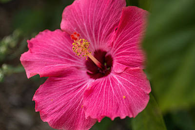 Photograph - Pink Hibiscus by Dorothy Cunningham