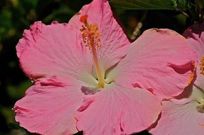 pink hibiscus I Art Print by Eddie Freeman