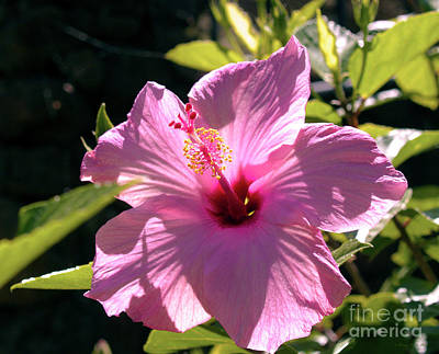 Photograph - Pink Hibiscus by Patricia Griffin Brett