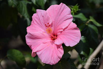Photograph - Pretty Pink Hibiscus  by Jeannie Rhode