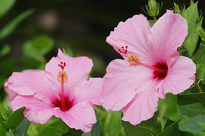 Photograph - Pink Hibiscus by Ron Dahlquist - Printscapes