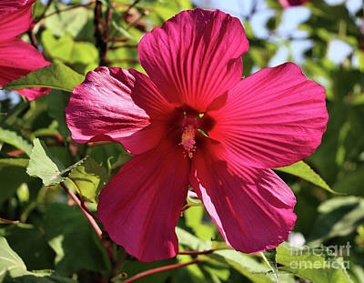 Photograph - Pink Hibiscus by Sandra Huston