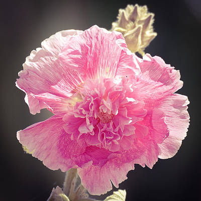 Photograph - Pink Hollyhock by Laurel Powell