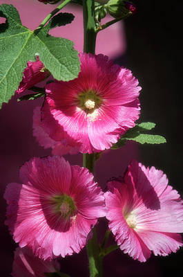 Photograph - Pink Hollyhock  by Saija Lehtonen