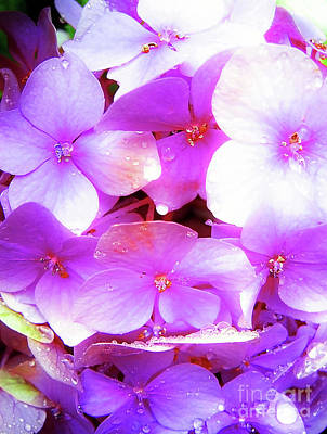 Photograph - Pink Hortensia Flowers After Summer Rain by Nina Ficur Feenan