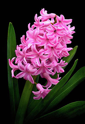 Photograph - Pink Hyacinth by Carolyn Derstine