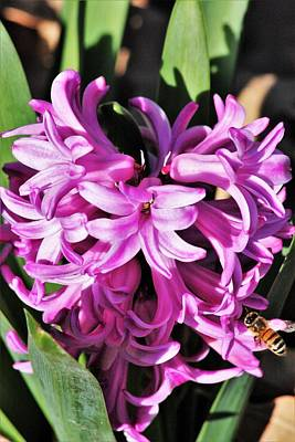 Photograph - Pink Hyacinth Flowers And Bee by Sheila Brown