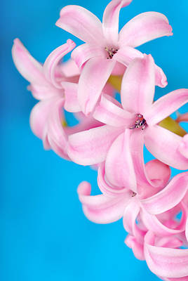 Photograph - Pink Hyacinth On Blue by Martin Capek