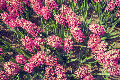 Photograph - Pink Hyacinths by Patricia Hofmeester
