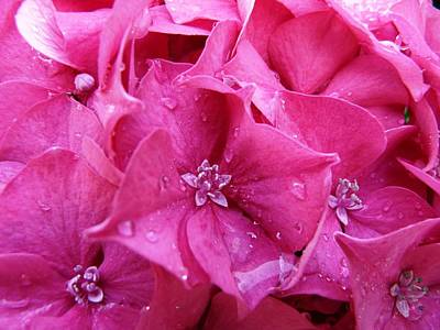 Photograph - Pink Hydrangea After Rain by Valerie Ornstein