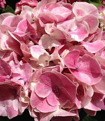 Photograph - Pink Hydrangea  by Alohi Fujimoto