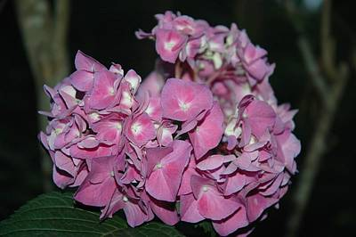 Photograph - Pink Hydrangea by Althea Sumpter