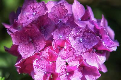 Photograph - Pink Hydrangea by Belinda Greb
