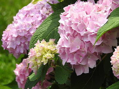 Photograph - Pink Hydrangea by Betty-Anne McDonald
