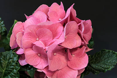 Photograph - Pink Hydrangea Bloom by Sheila Brown